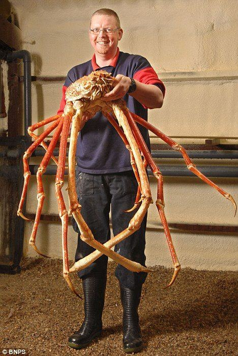 Japanese Spider Crab    Like Unusual Facts For More !!  Crabs are some of the most delectable creatures the ocean has to offer. And just in time to ruin your day, we bring you the Japanese Spider Crab - the creepiest and largest of edible crustacean treats.Dinner, Spidercrab, The Ocean, King Crabs, Spiders Crabs, Sea, Japan Spiders, Crabs Legs, Animal