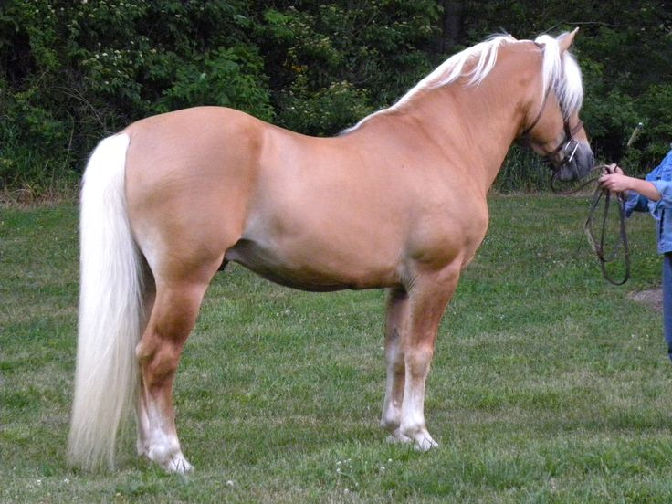Haflinger Stallion, owned by Golden horse Farm in Ohio