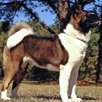 Akita - Large Dog Breed profile