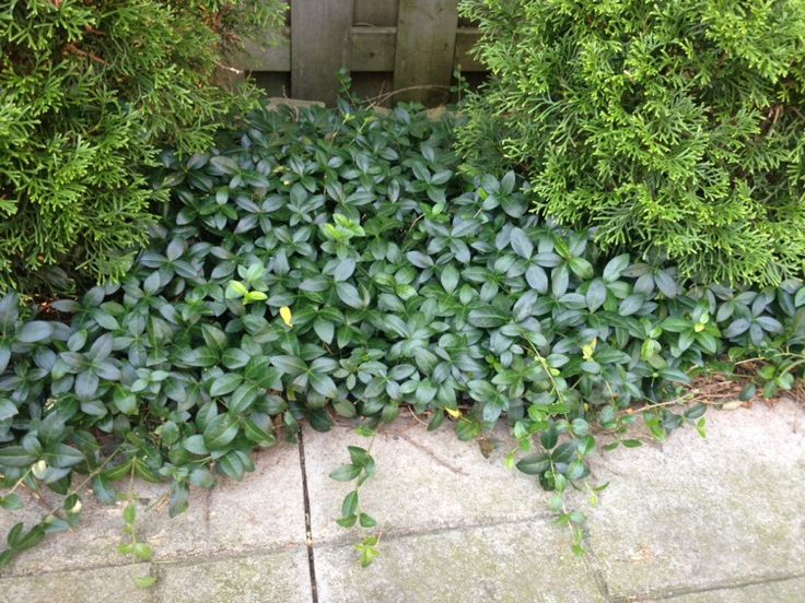 Periwinkle Or Creeping Myrtle (vinca minor): This appears to be an evergreen ground cover, Vinca minor. Pinwheel flowers are usually blue, sometimes white, purple, or burgundy. Some cultivars have variegated foliage. Does best in partial shade with regular water. It's considered invasive in some states.