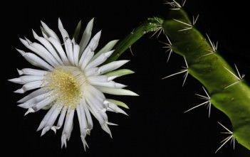 DILDO CACTUS   Acanthocereus tetragonus – Barbed Wire Cactus