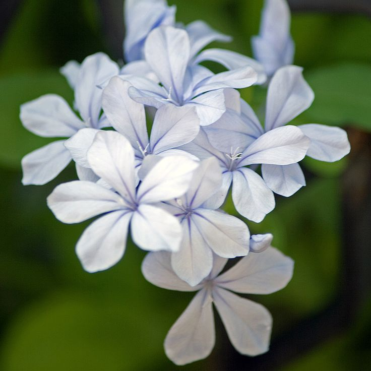 Light blue flower....
