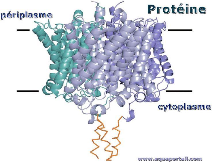 Protéine : définition illustrée et explications