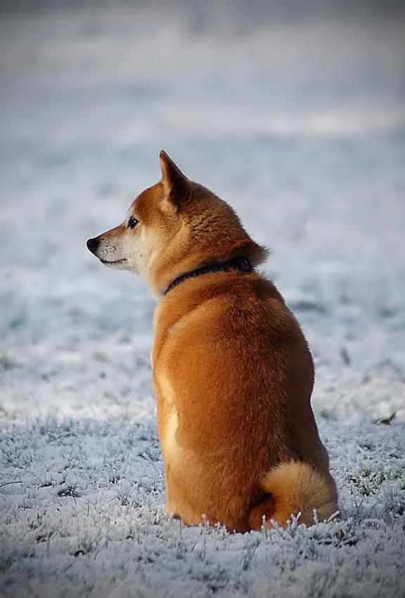 shiba #dog #animal #shiba #inu