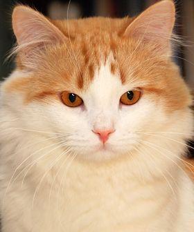 Türkisch Van Cat – #cat #catbreeds #vancat #turkishvancat – CATS