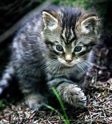 Scottish Wildcat Cub Unbelievable As It Is This Is Not