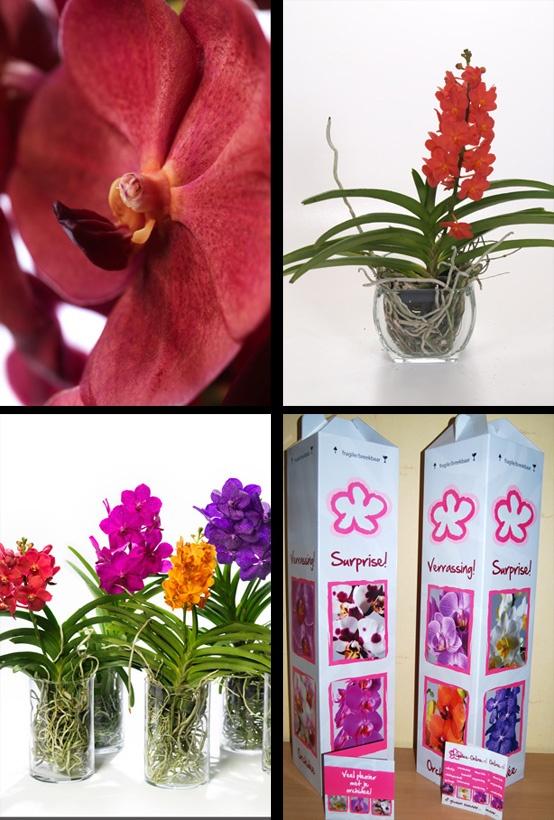 £23.95 (=€23,95) #vanda rood in accuglas. Schitterende 'juweel' orchidee met rode bloemen. Zeer decoratief met haar luchtwortels. Met een Vanda verras je altijd! Leverbaar in veel aansprekende kleuren.