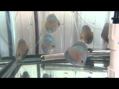 1000 images about blue discus fish on pinterest pearls