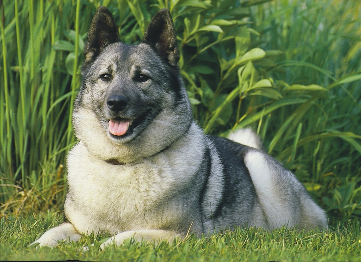 My Uncle Justin's dog Hannah 2002 Norwegian Elkhound Calendar