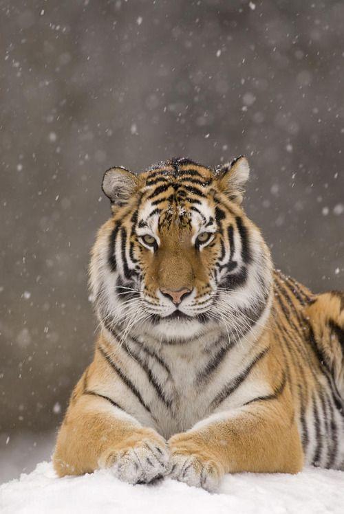 beautiful-wildlife: Tiger Portrait In SnowfallbySteve Gettle