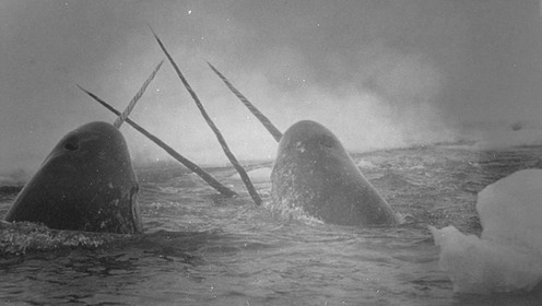 The narwhal, or narwhale, is a medium-sized toothed whale that lives year-round in the Arctic. One of two living species of whale in the Monodontidae family, along with the beluga whale, narwhal males ... Wikipedia