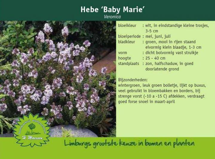 370 best Planten images on Pinterest   Garden plants ...