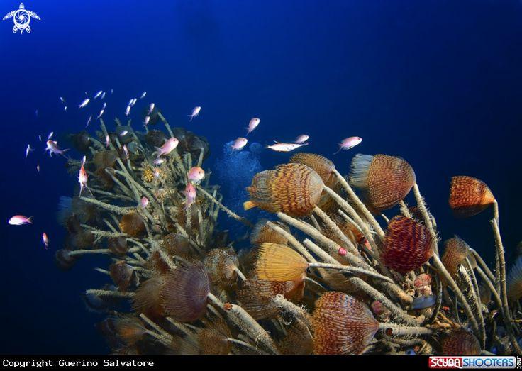 Mediterranean reef - Sabella spallanzanii in Reggio Calabria - Italy