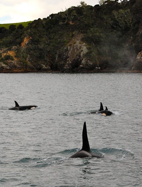 Orcas hunting in the Bay of Islands, New Zealand