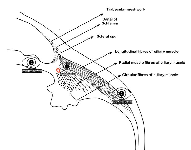 Image result for ciliary muscle radial circular longitudinal