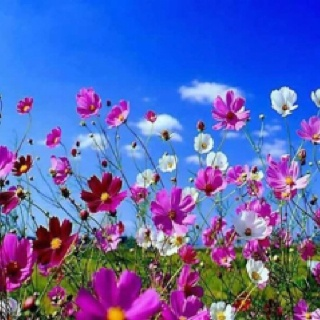 Wild flowers Cosmos in South African autumn
