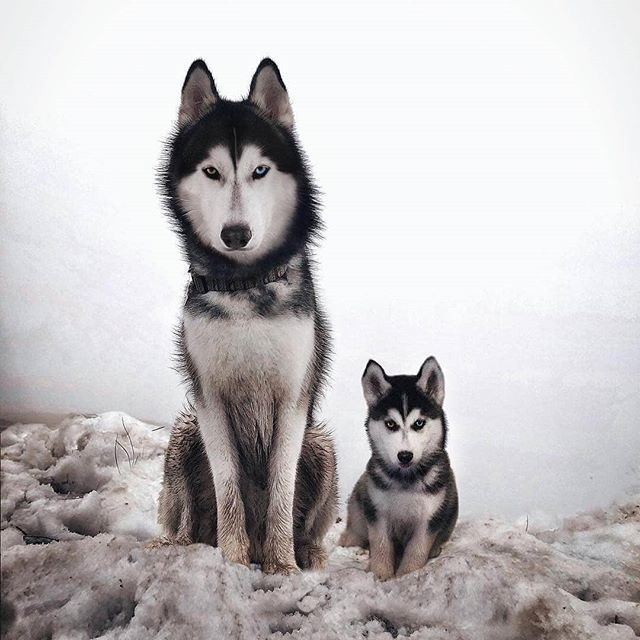 alaskan husky huskies types of huskies siberian husky