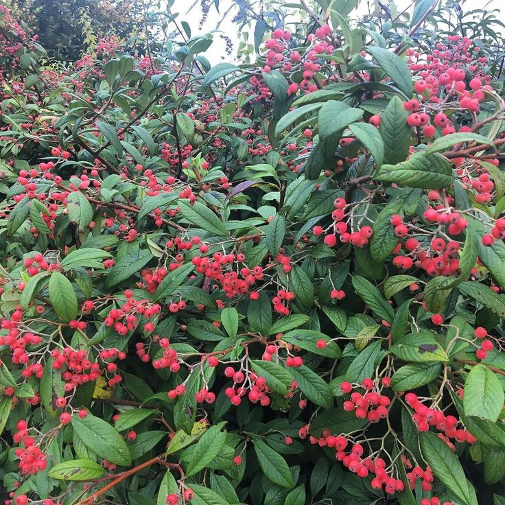 A fantastic selection of Cotoneater called Pershore Coral. Wish more people would grow it as its superb!! #plants #ukbred #PershoreCollege #worcestershire #gerdening #shrub