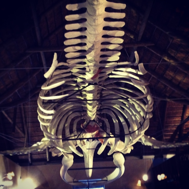 It gets so lonely in the belly of a whale...Southern Wright Skeleton @Marine Dynamics Shark Tours as we get ready for Great White diving.
