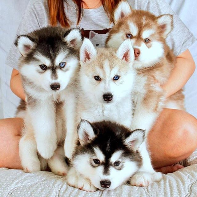 "2,726 Likes, 13 Comments - We  Huskies! (@my_husky) on Instagram: "" follow @my_husky for the best huskies of instagram. ••••••  OMG tag a friend   Via:…"""