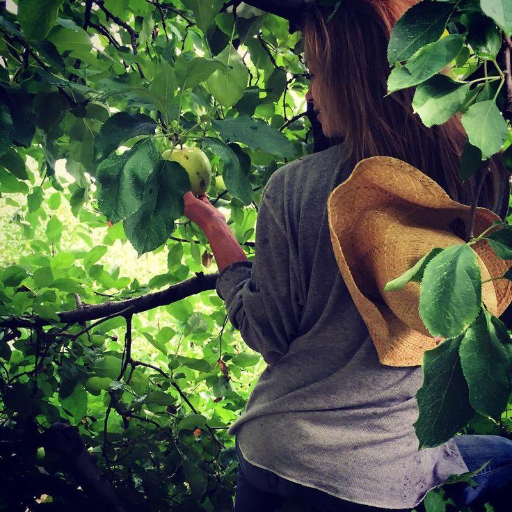 Picking apples #cider #nodafarmersmarket #ciderdonuts #charlotte #Apple #designerjuicing #farmtobottle #gypsyjuice #gypsyrawproducts #handcrafted #healthylifestyle #juicing #local #nc #nodafarmersmarket #orchard #raw
