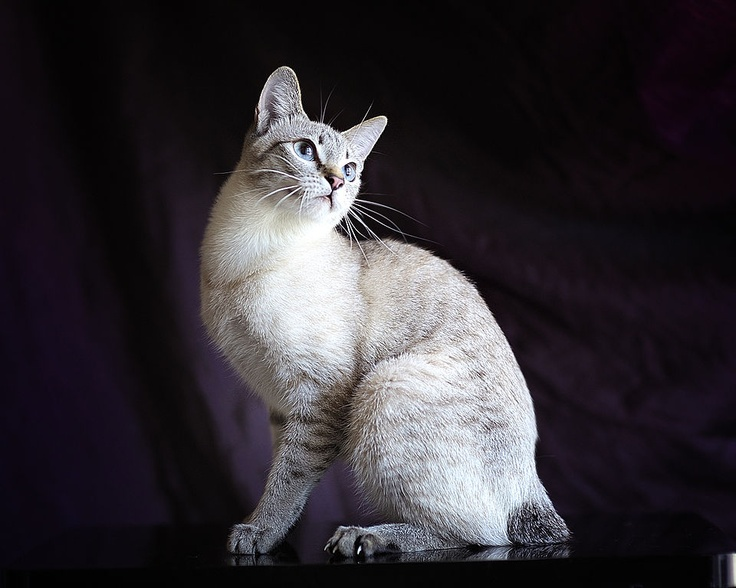 Mekong Bobtail cat in Lynx point color Cat breeds