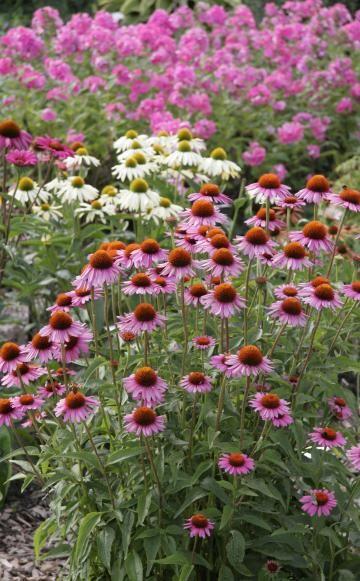 Pflanzen für den pflegeleichten Garten: 1. Purpur-Sonnenhut (lange blühend) 2. Kleinstrauchrose 'Escimo' (selbstreinigende Blüten)