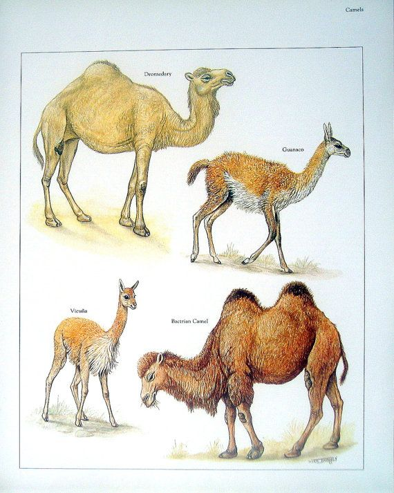 Camels Dromedary Guanaco Bactrian Camel by mysunshinevintage