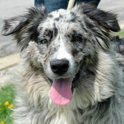 Tova is an adoptable Australian Shepherd Dog in Garfield Heights, OH. Tova is a very pretty 1 year-old Aussie female who came into a rural county dog pound as a stray. Amazingly, as beautiful as she i...