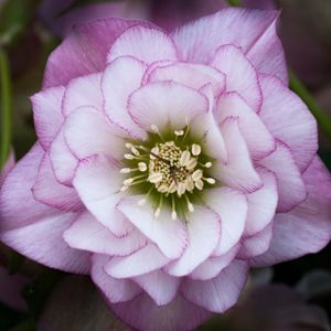 HELLEBORE DOUBLE PALE PINK (BARE ROOTED) - Garden Express