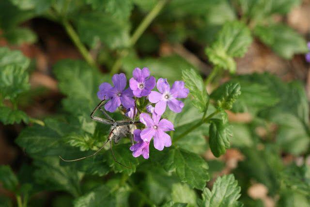 17 best images about florida native plants on pinterest