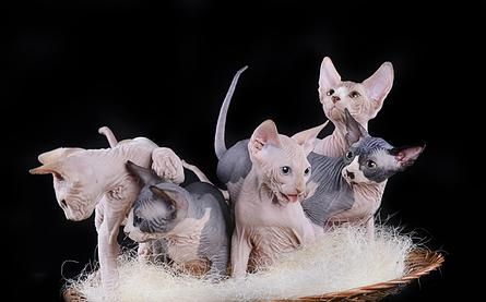 Bastet Spirit Sphynx - Hairless Cats - Hairless Cat For Sale | OUR KITTENS