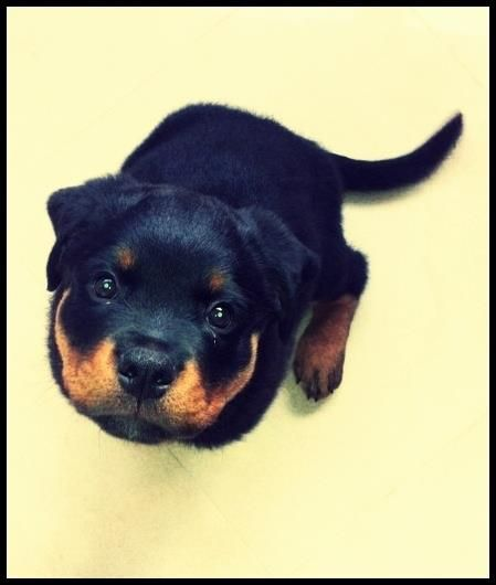 the definition of puppy eyes.   the cutest rottweiler ever!