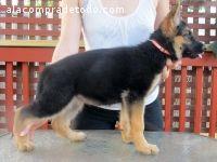 Cachorros De Pastor Alemán Para Adopción