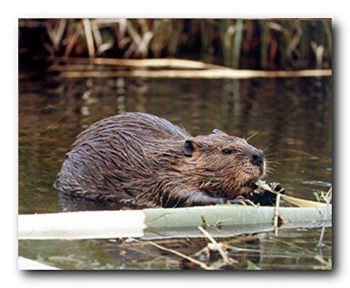 Light up your place with this wonderful beaver art print poster. This poster captures the image of beaver swims into a lake which is sure to make this poster a focal point of your home and grab lot of attention. It will be a great addition for any home decor and ensures high quality with perfect color accuracy. Enjoy your surroundings.