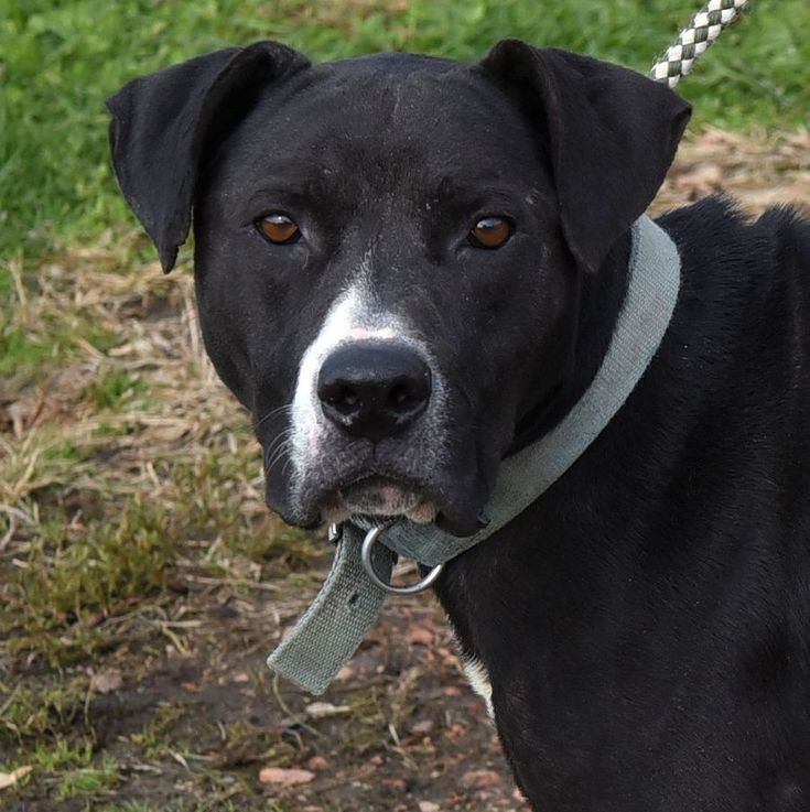 Gordy- WATH/WXTQ PET OF THE WEEK is an adoptable pit bull terrier searching for a forever family near Chauncey, OH. Use Petfinder to find adoptable pets in your area.