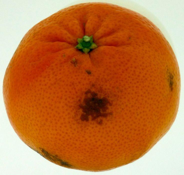 Fitotoxicidad en Mandarina. Producida por incompatibilidad en la mezcla usada como tratamiento postcosecha.
