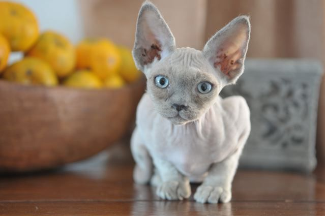 Devon Rex: Pictures, Personality, and How to Care for Your Devon Rex