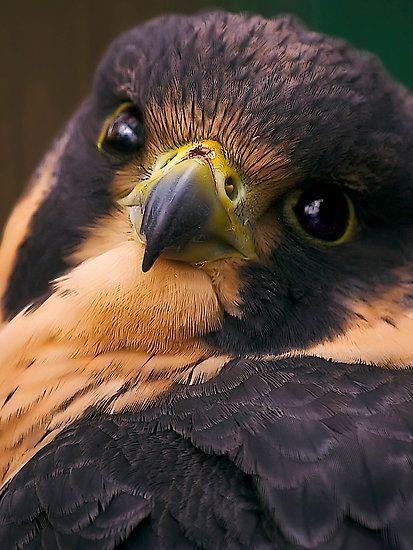 Peregrine Falcon (or aplamado falcon)