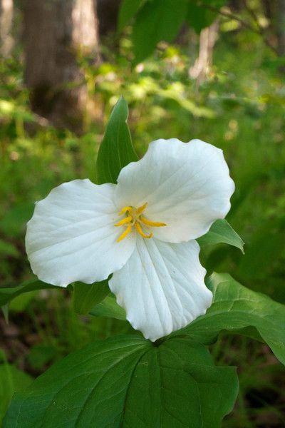 Trillium-Large-Flowered - Pine County, MN-02