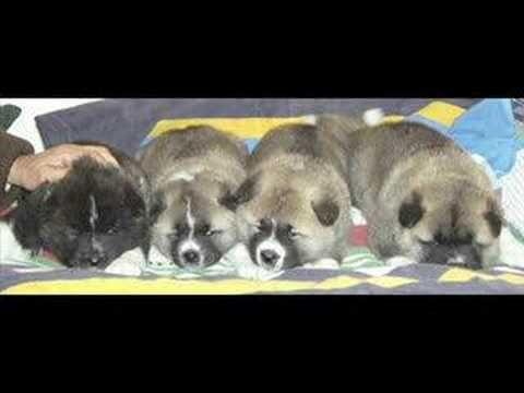 Cachorros Akita Inu 30 dias increibles perro japones