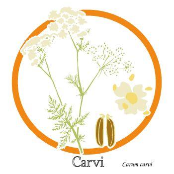 Carvi - Plante et fleur - Plante médicinale - uptimoi
