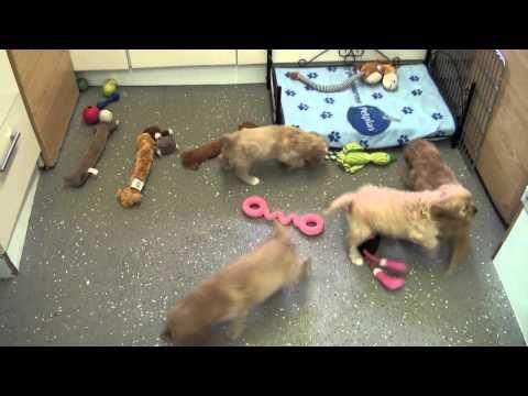 Little Rascals Uk breeders New litter of golden Cavapoo babies - Puppies...