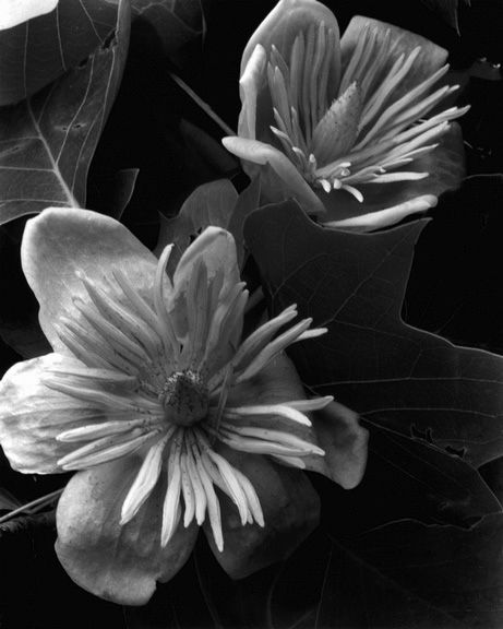 Tulip Tree 2, 1934 by Imogen Cunningham: Photography Ears, Tulip Trees, Art Photography, Cunningham 1934, Imogen Cunningham, 1974 Imogen, Flower Photography, Earlier Photography, Cunningham Imogen