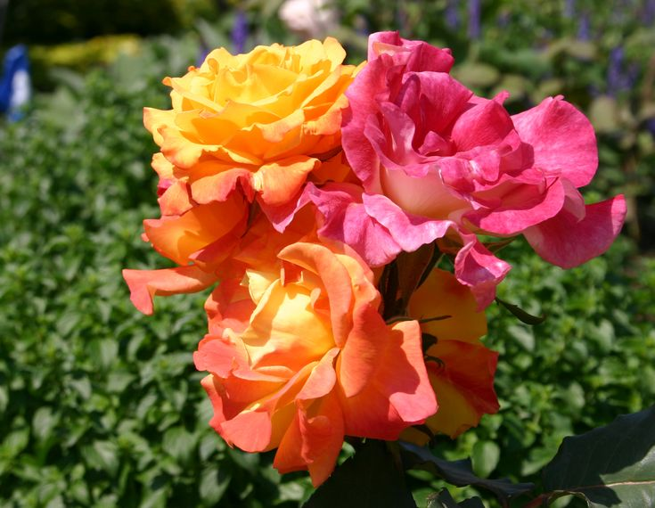 Rio samba hybrid tea rose kathrine dulin folger rose garden pinterest flowers rose - Rose cultivars garden ...