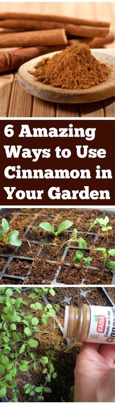 6 Amazing Ways to Use Cinnamon in Your Garden. Please also visit www.JustForYouPropheticArt.com for colorful, inspirational art and stories and like my  Facebook Art Page  at www.facebook.com/Propheticartjustforyou Thank you so much! Blessings!