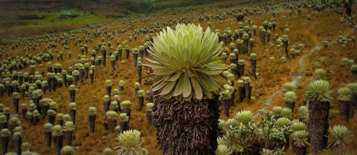 Frailejón -Espeletia / Páramo de Ocetá / World's most beautiful moor. | Páramo de Ocetá - Boyacá - Colombia Páramo más hermoso del mundo World's most beautiful moor.