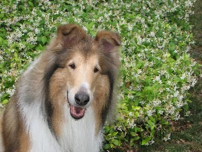 Collies are known for their long, luscious locks. But collie fur can quickly turn into a matted mess without proper care. In addition to regular grooming, there are several steps you can take to ensure your collie's coat stays gorgeous.