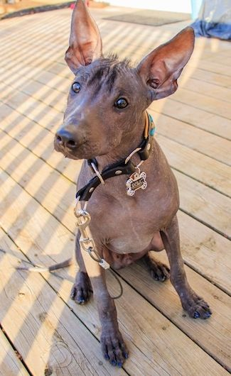 Xoloitzcuintli Training 17 Best images about X...