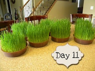 How to grow wheatgrass centerpieces in 11 days!!